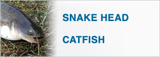 SNAKEHEAD CATFISH